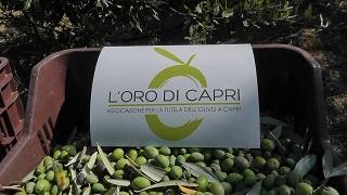 Raccolta Olive - Loro di Capri 8
