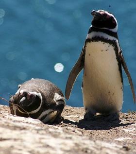 I pimguini di Punta Tombo