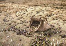Cesto Olive del Garda