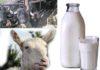 Assolatte - latte di capra - bufala