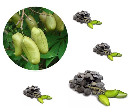griffonia semplicifolia