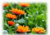 calendula officinalis r