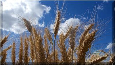 Svelato il genoma del grano tenero