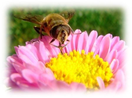 agricoltura - insetti a rischio di scomparsa - api
