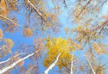 BETULLA SIGNORA DELLE FORESTE