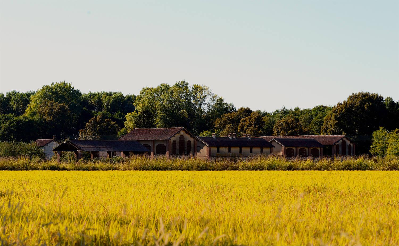Riserva-San-Massimo la maturazione del riso