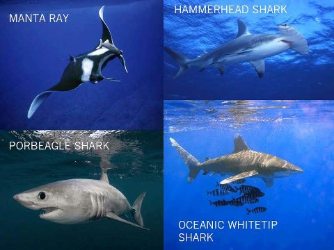 oceanic sharks and rays