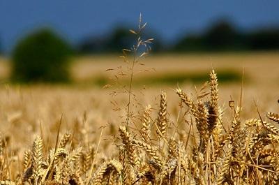 Prezzo del grano tenero in decisa crescita