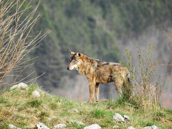 wolfalps2