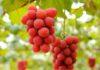 Giappone grappoli duva ruby roman venduti allasta per 10mila euro