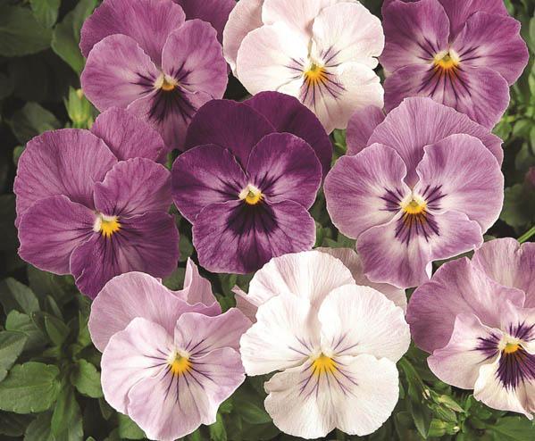 Miniviola-wittrockiana Lilac-Shades MINIPA m