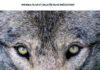 Odissea di un lupo