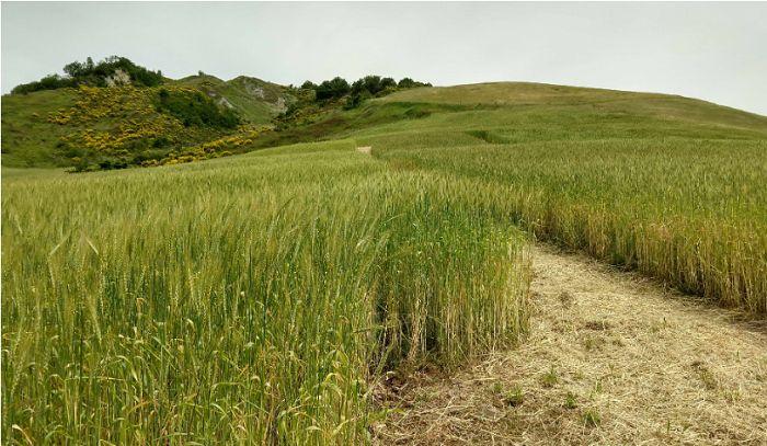 Grani antichi nellAzienda agricola Marzocchi di Novafeltria