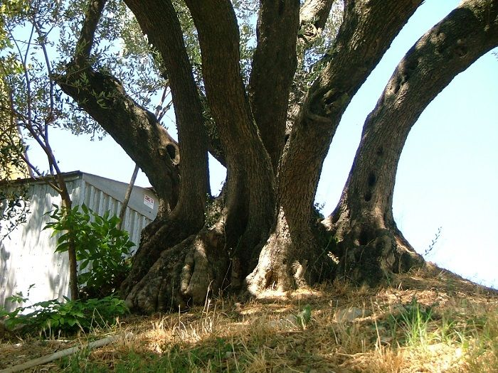 Olivo plurisecolare ritrovato nel modenese-