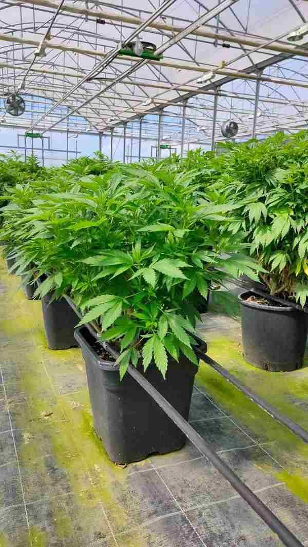 Piantina cannabis