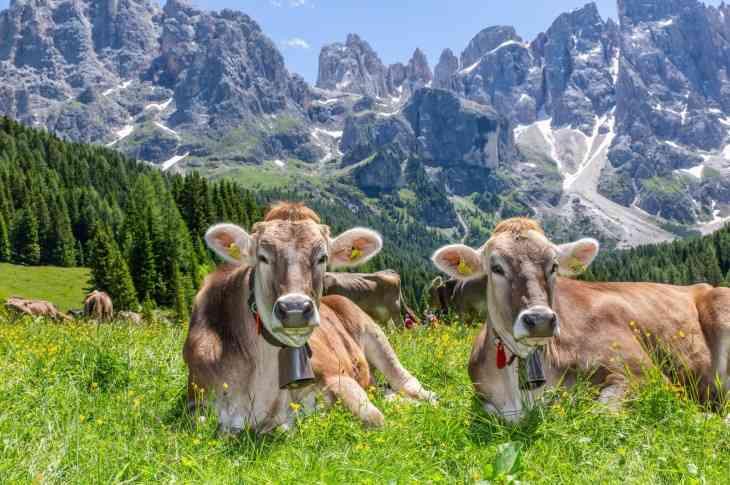 Trentino Mucche