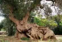 ulivo di 400 anni