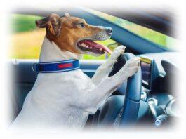 Cane alla guida di un auto