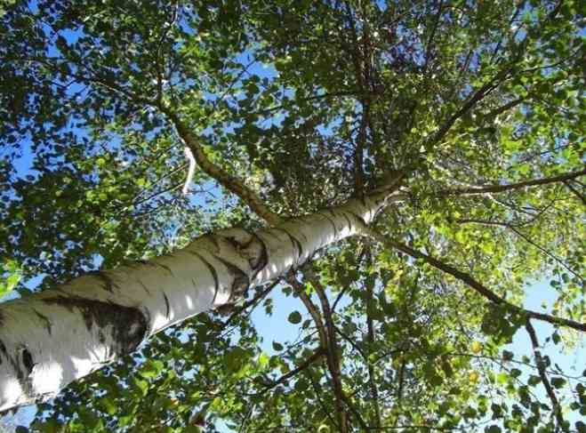 Betulla bosco