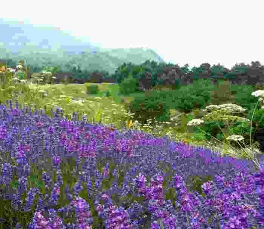 lavanda riviera dei fiori