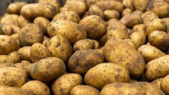 patata alto viterbese igp