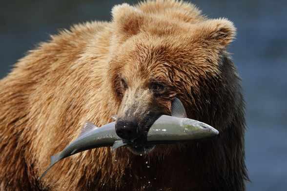 orso salmone selvaggio dell'Alasca Eataly