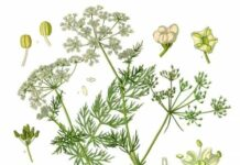 Carum carvi Franz Eugen Köhler s Medizinal Pflanzen Pubblico dominio