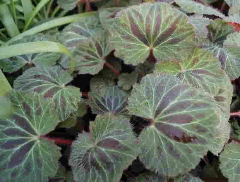 ORTICOLA Plantula SaxifragaKinkiPurple9cmfoliage