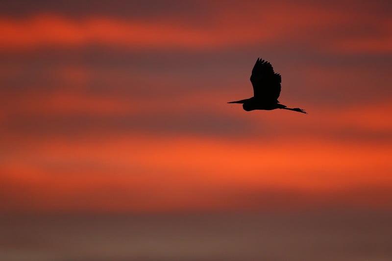 airone in volo al tramonto